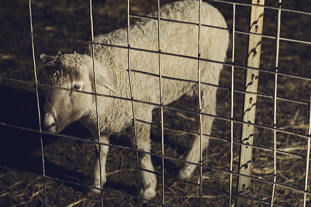 Winter Traditions: Sheep at Overlys © Kendra Kantor